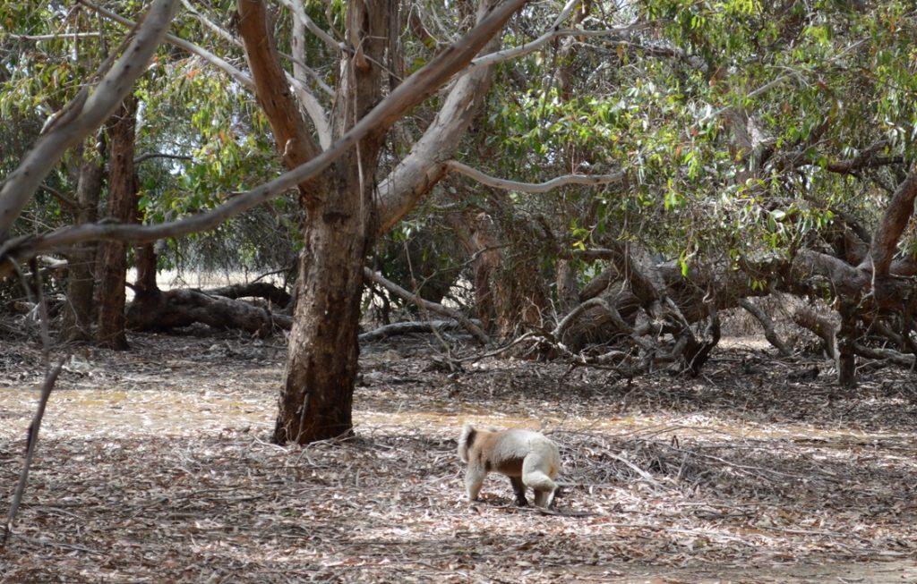 Koala Kangaroo Island lopend op de grond