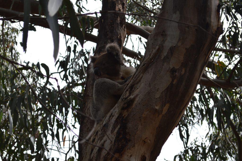 Koala op Kangaroo Island